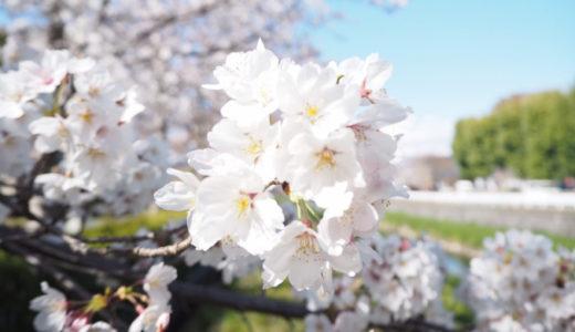【2019年小瀬桜まつり】夜桜も楽しめる甲府のおすすめお花見スポット