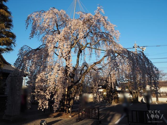 山梨県中央市-妙泉寺のしだれ桜