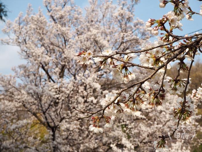 山梨県甲府市-中区配水場の桜