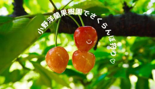 【小野洋蘭果樹園】ブログで紹介!行ってよかった大満足のさくらんぼ狩り♡